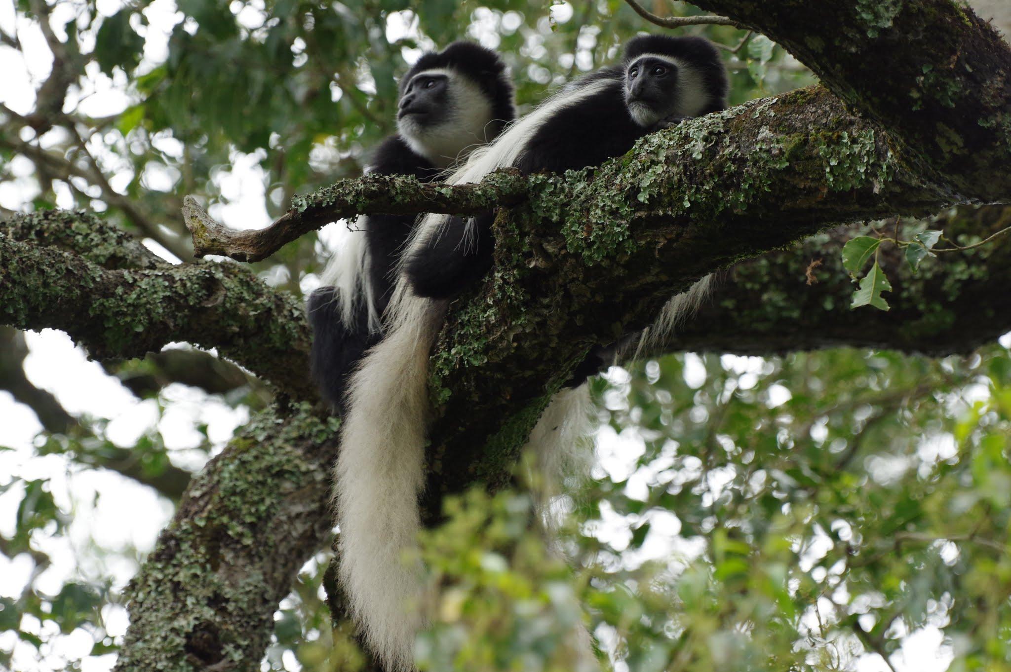 Colobus monkey Arusha NP