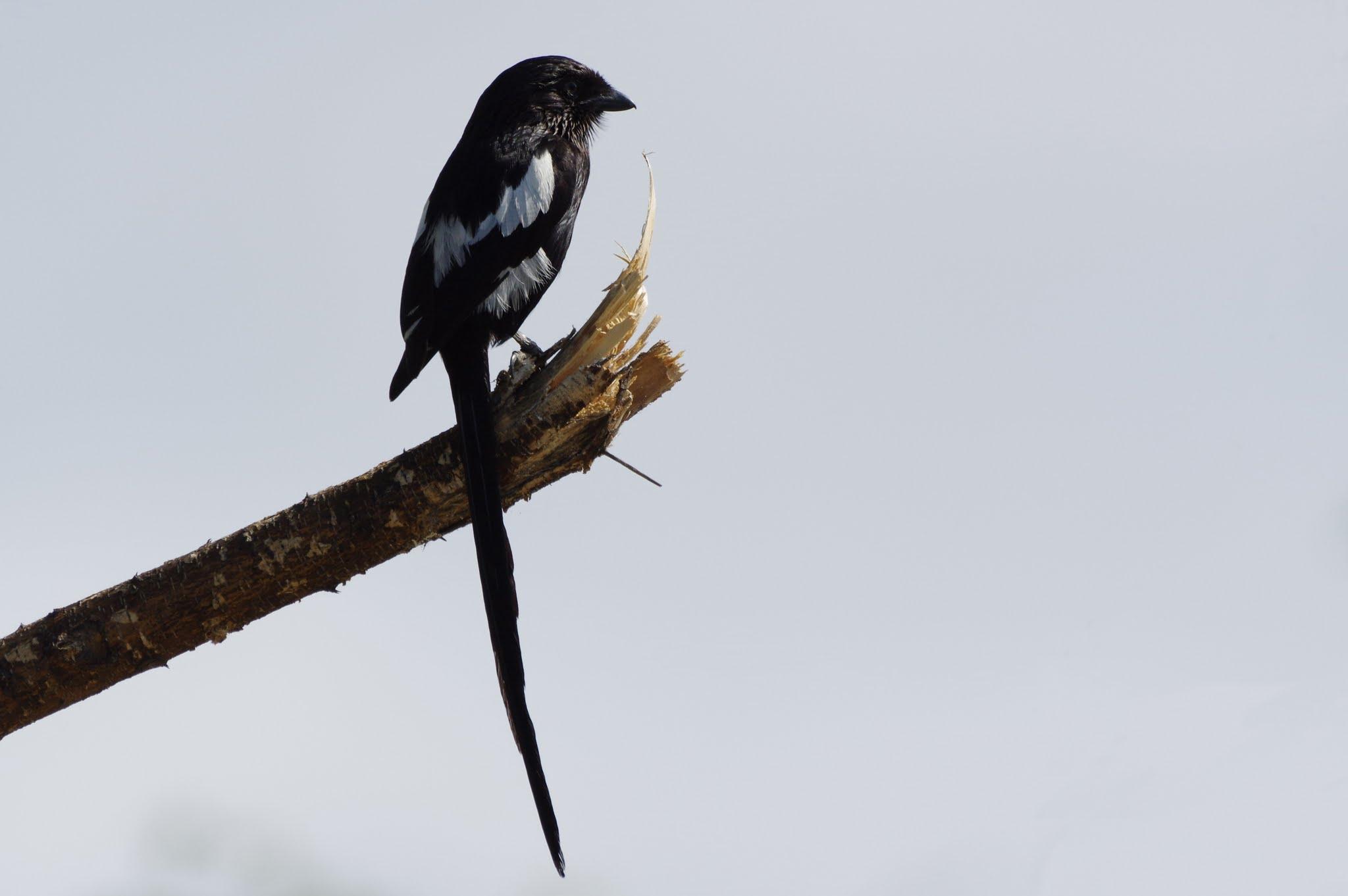 corvinelle-noir-et-blanc1-tarangire-11-15