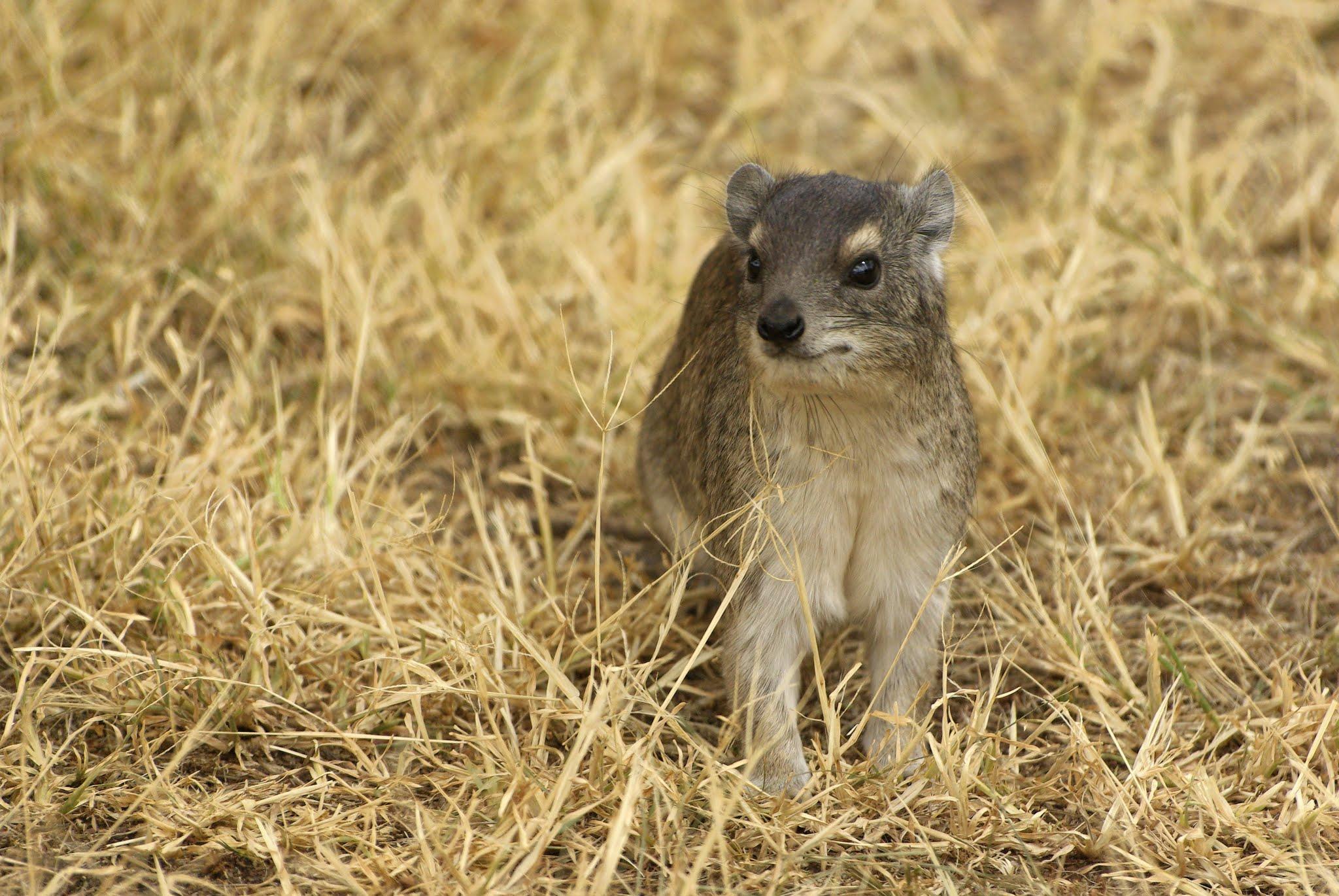 daman-des-rochers1-serengeti-06-08_dxo