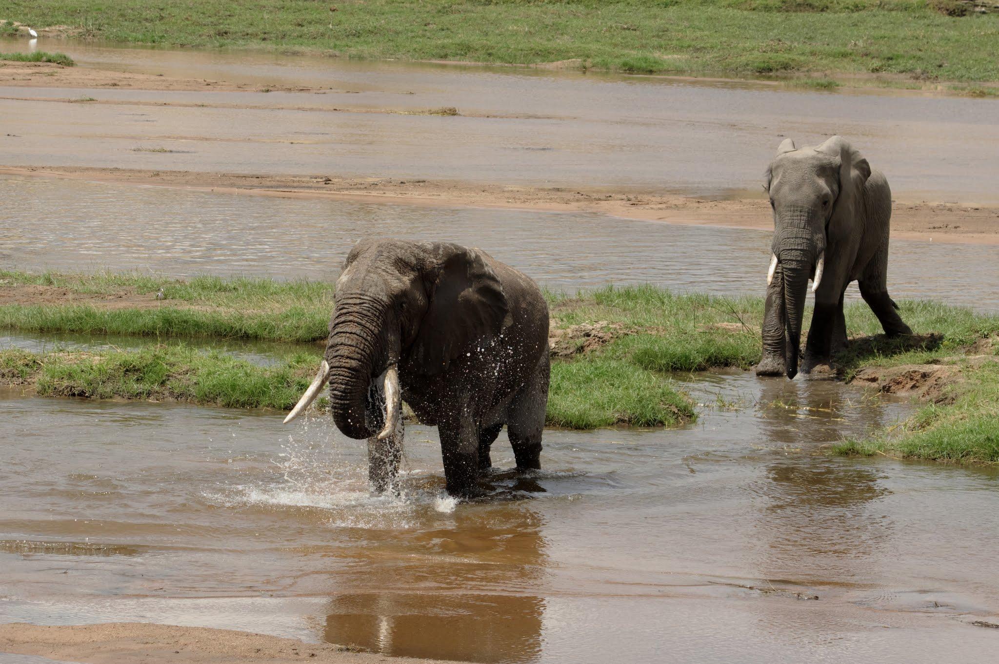 elephant15-ruaha-08-14