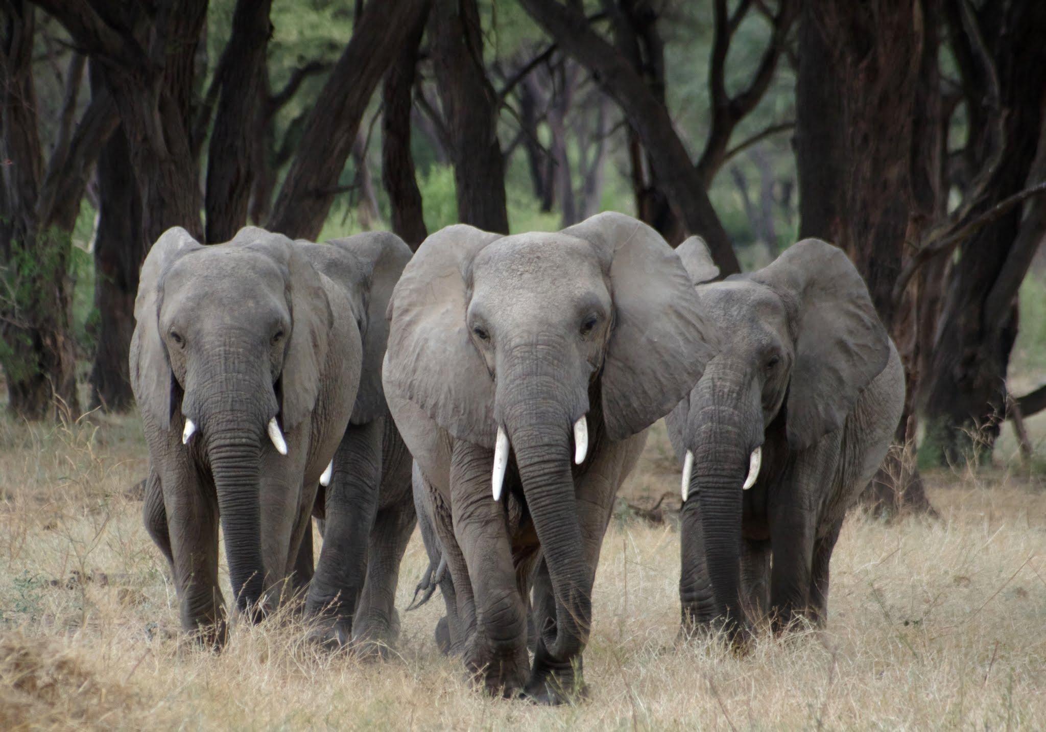 elephant6-ruaha-08-14