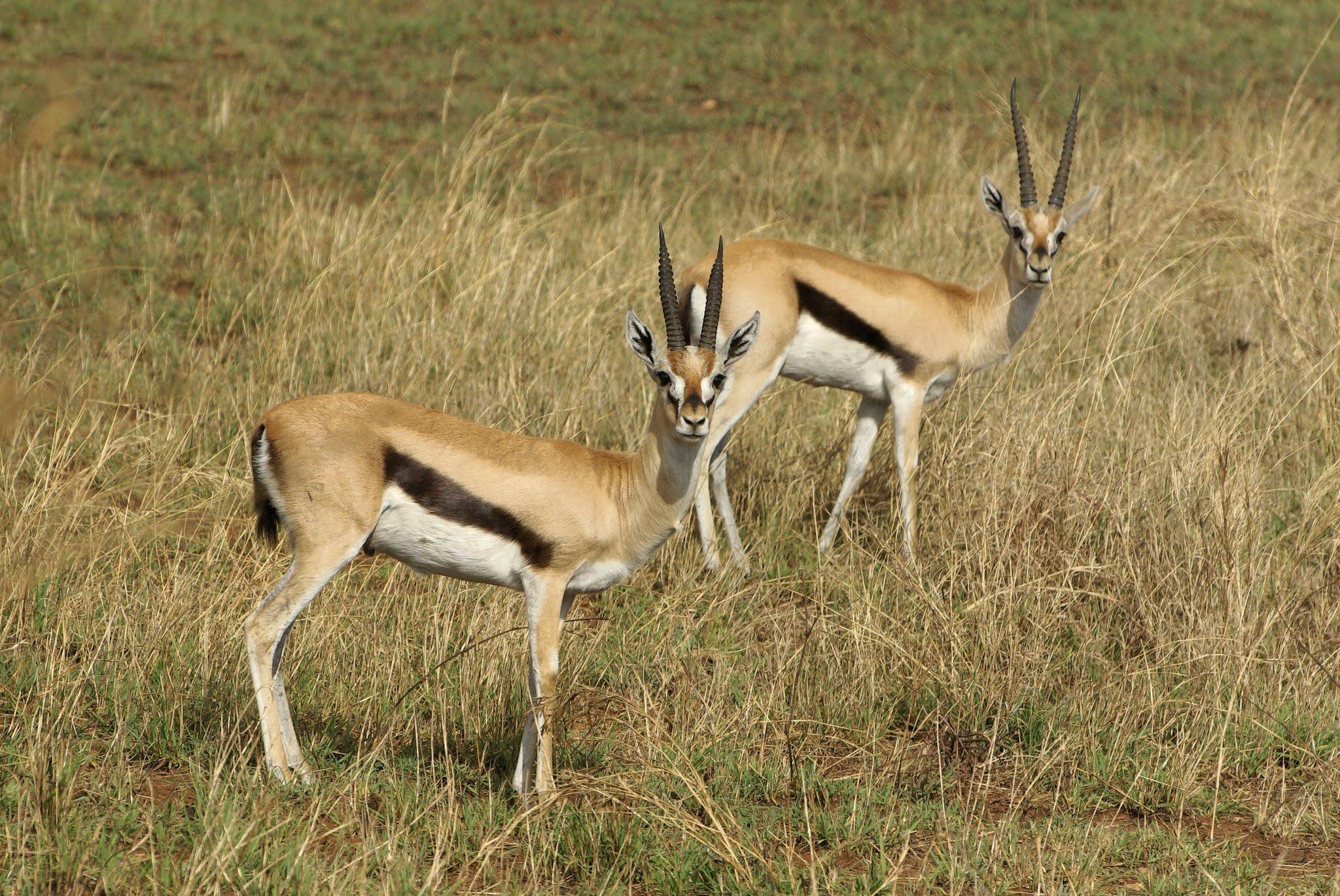 gazelle-de-thompson1-serengeti-06-08_dxo