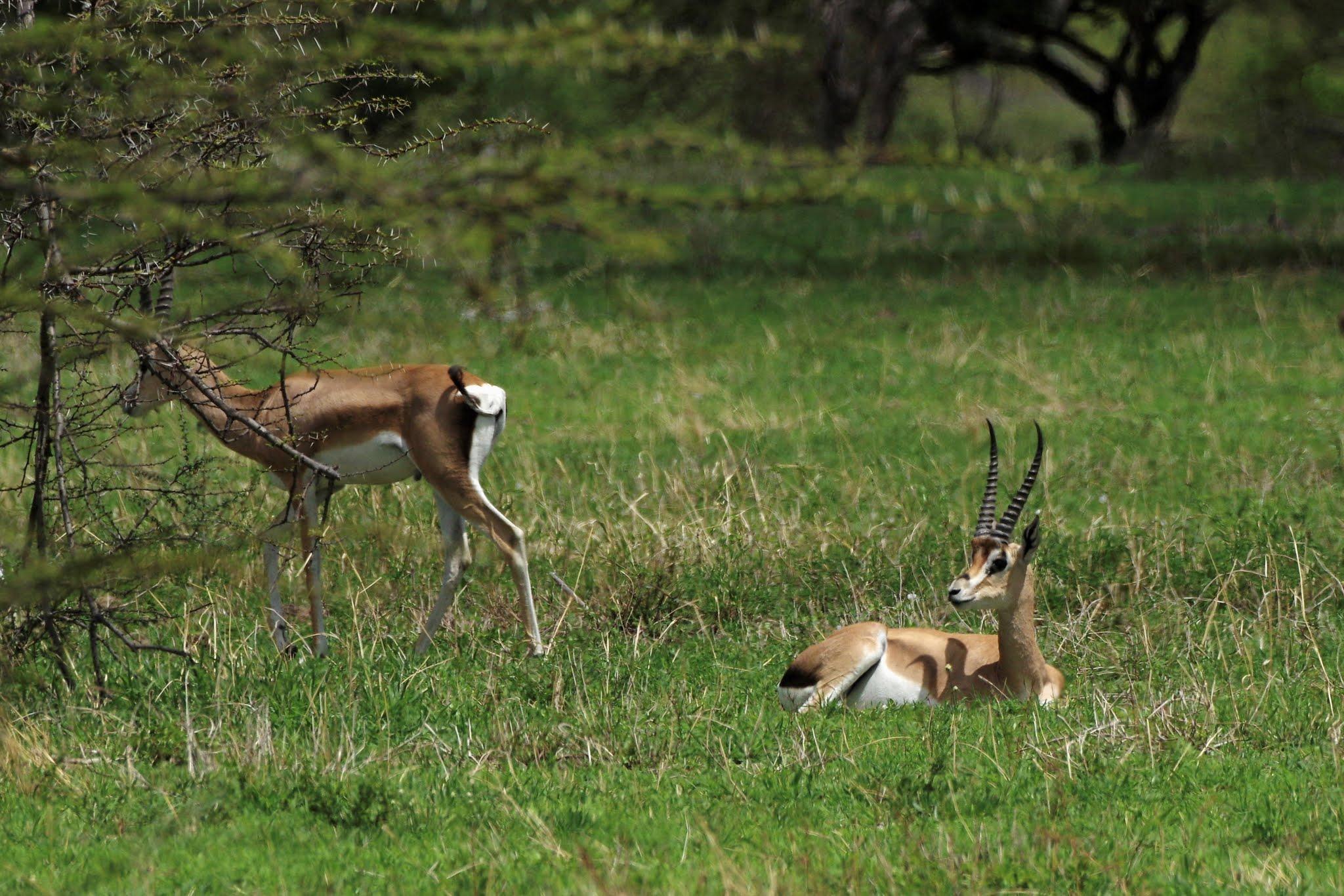 gazelle-de-thomson-tarangire-11-15_dxo