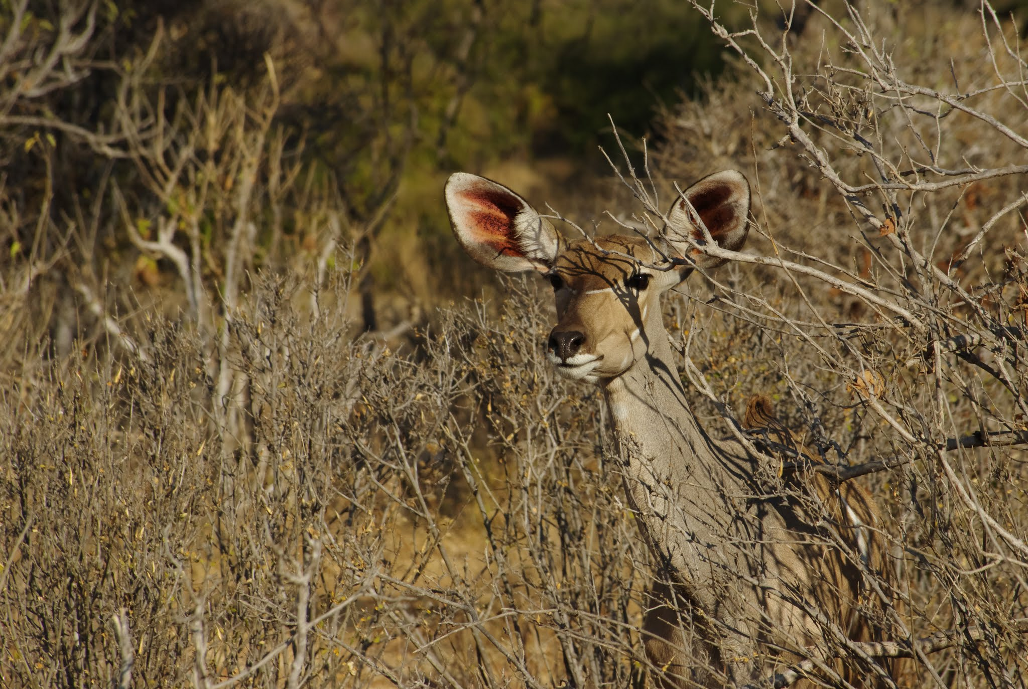 grand-koudou7-ruaha-08-14