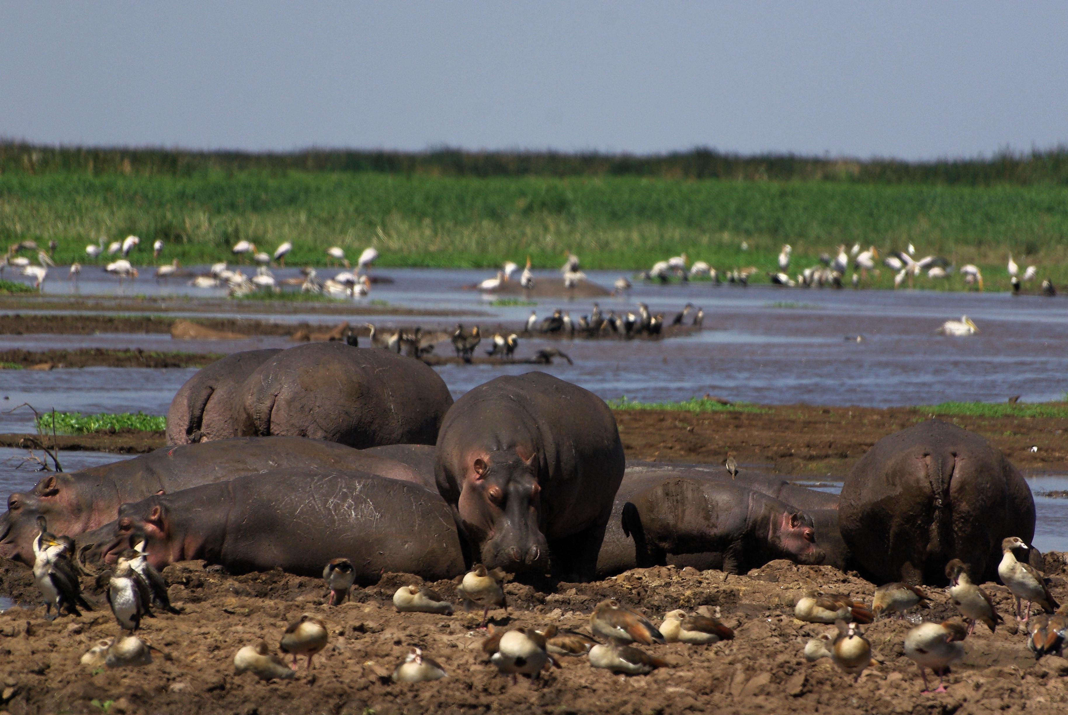 hippopotame-manyara-06-08_dxo