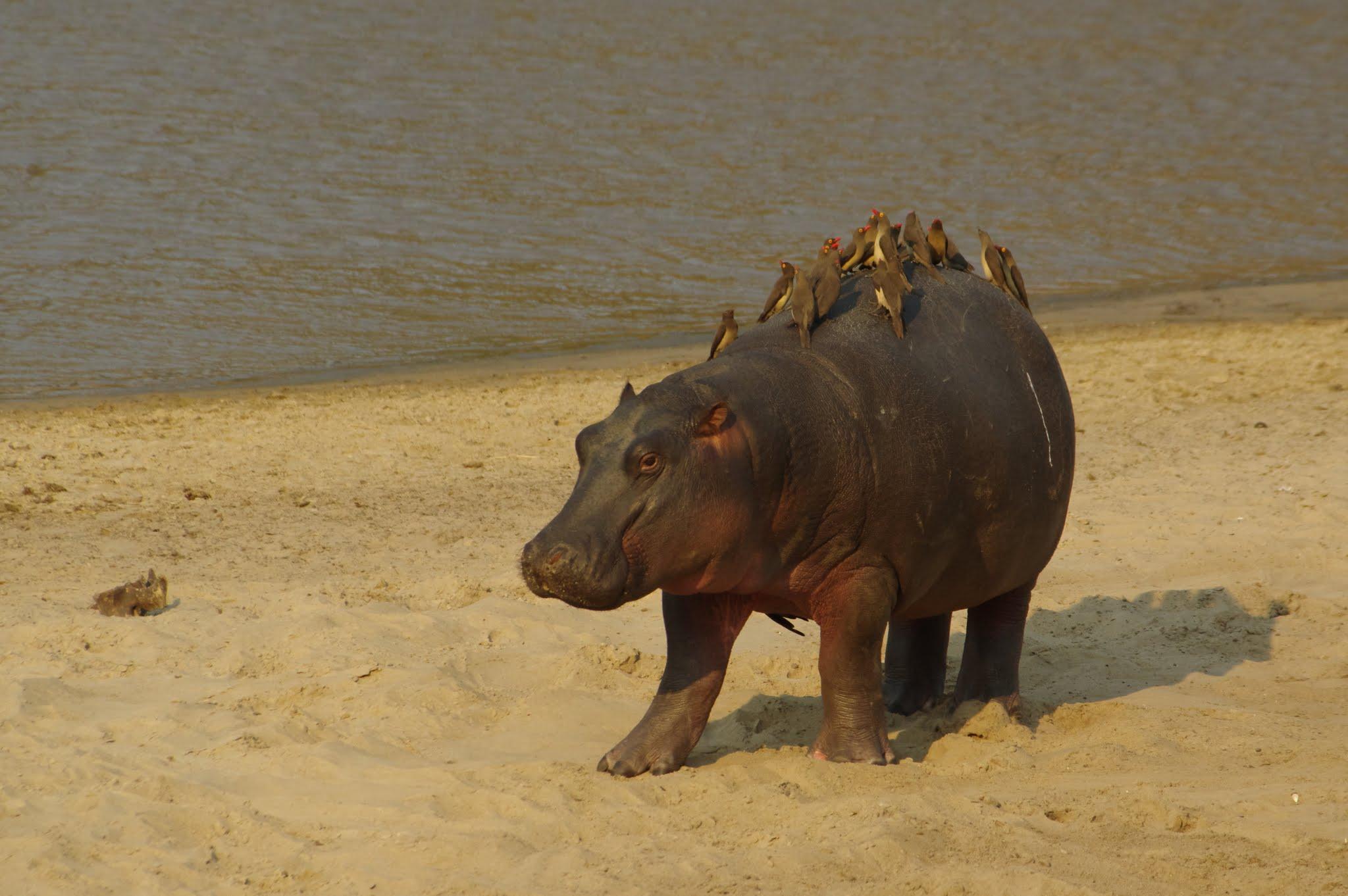 hippopotame3-katavi-08-14