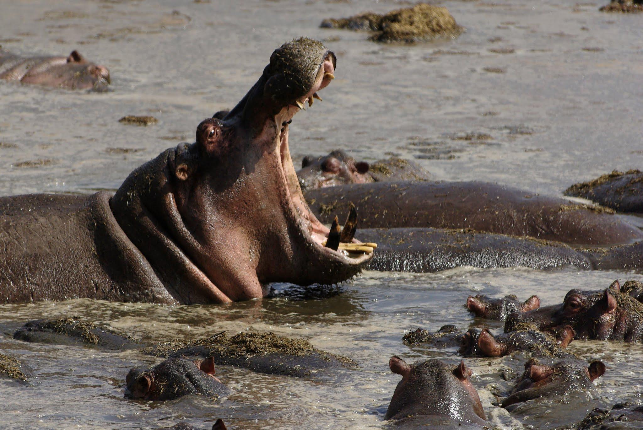 hippopotame4-serengeti-06-08_dxo
