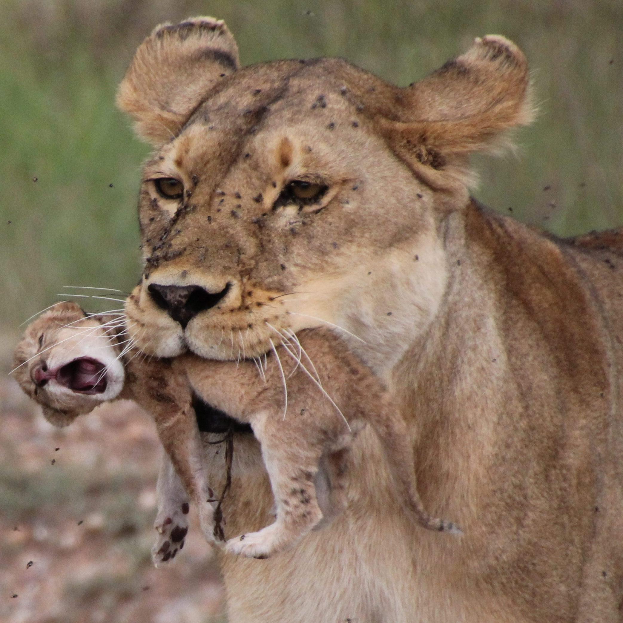 Lioness and newborn
