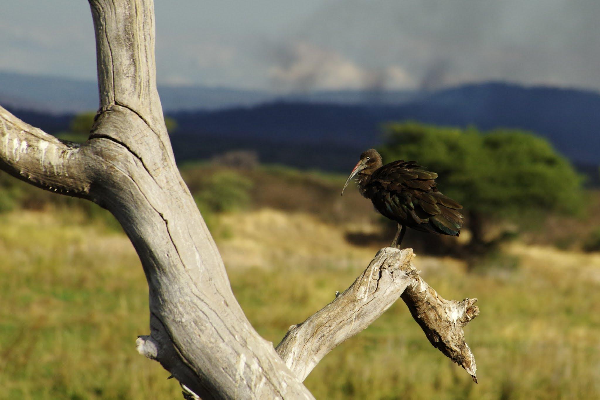 ibis-hadada2-ruaha-08-14