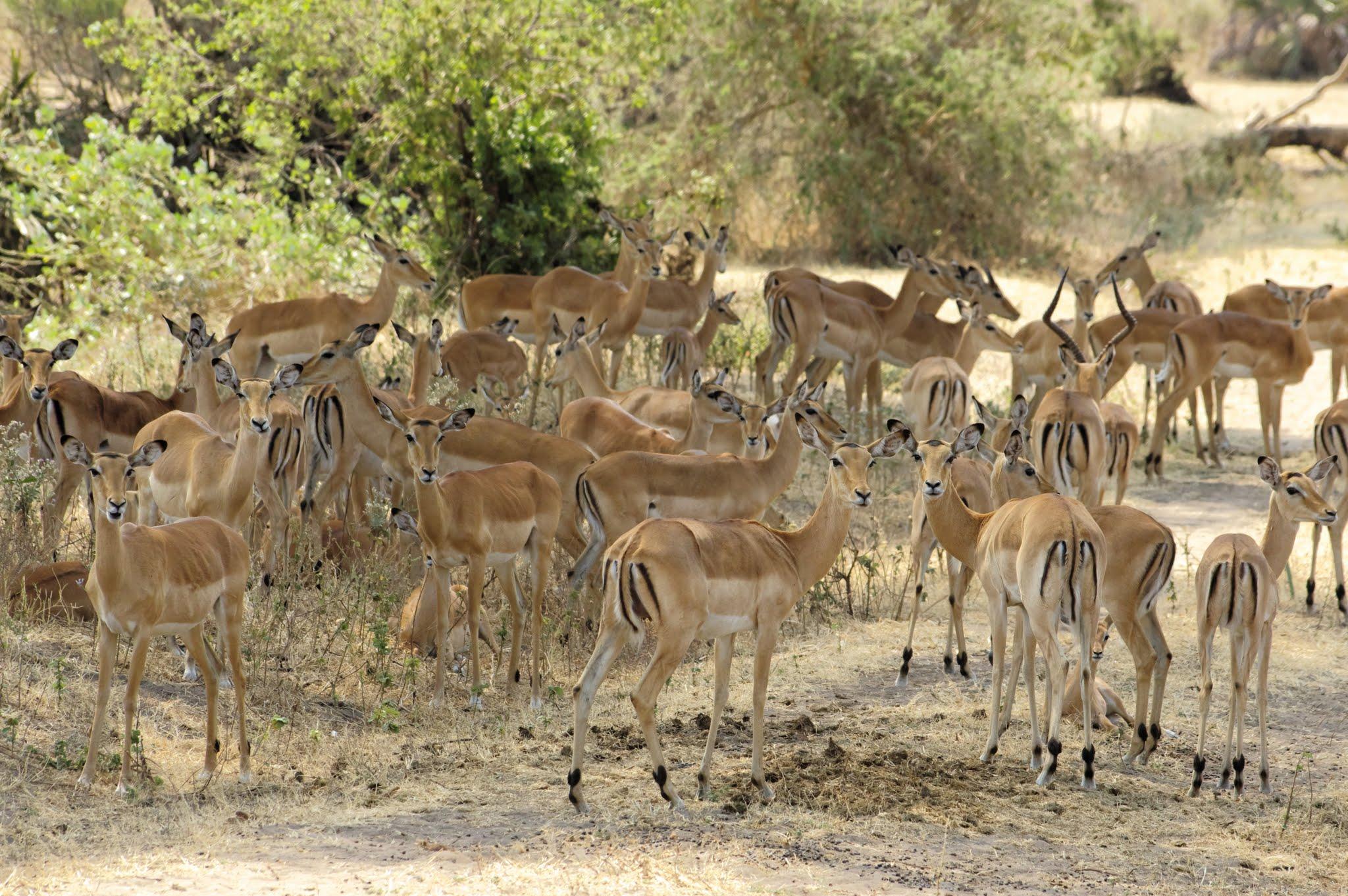 impala1-katavi-08-14