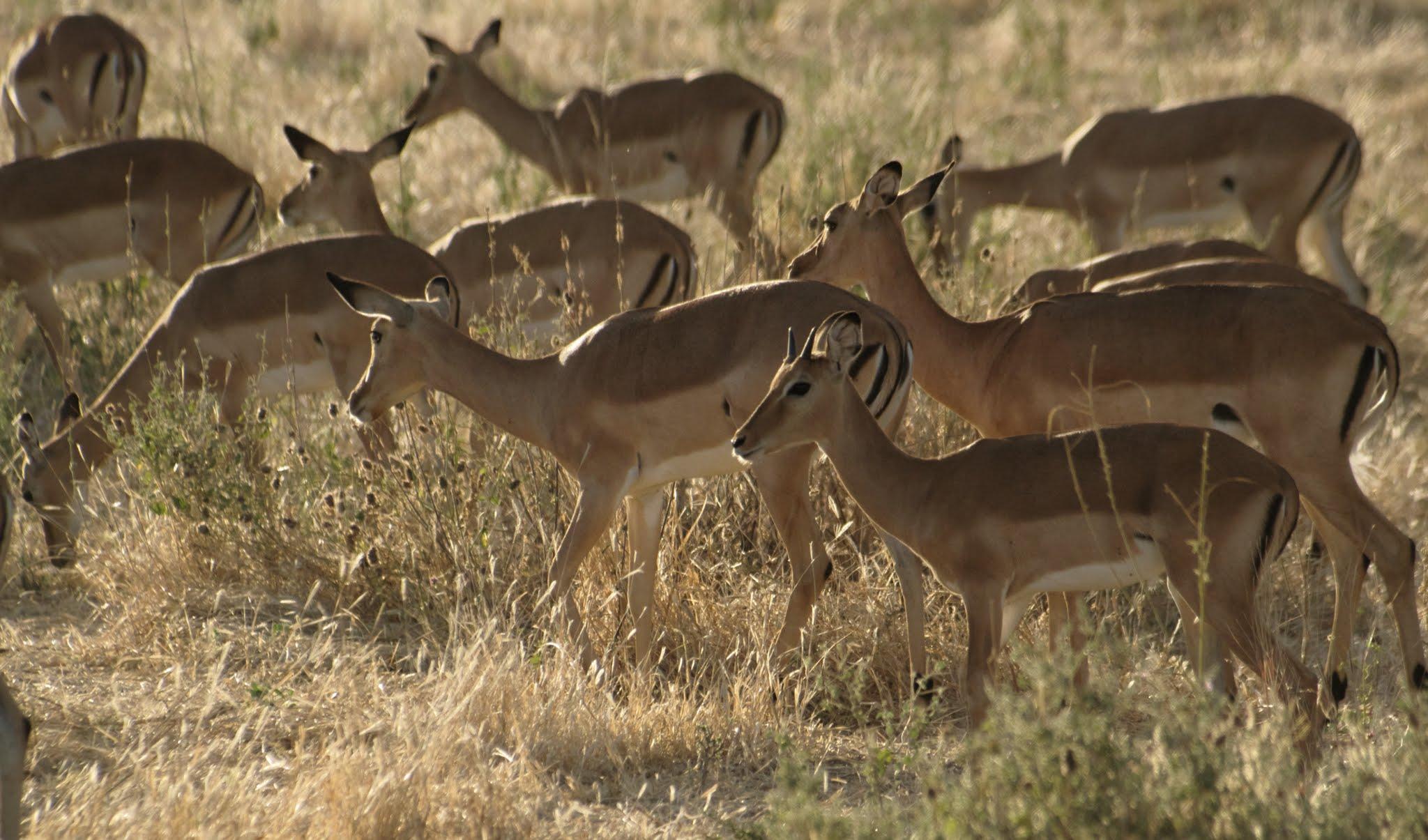 impala2-ruaha-08-14