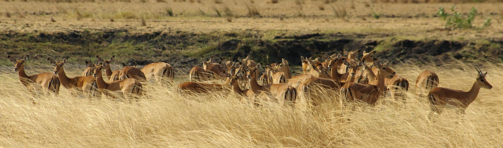 impala3-katavi-08-14