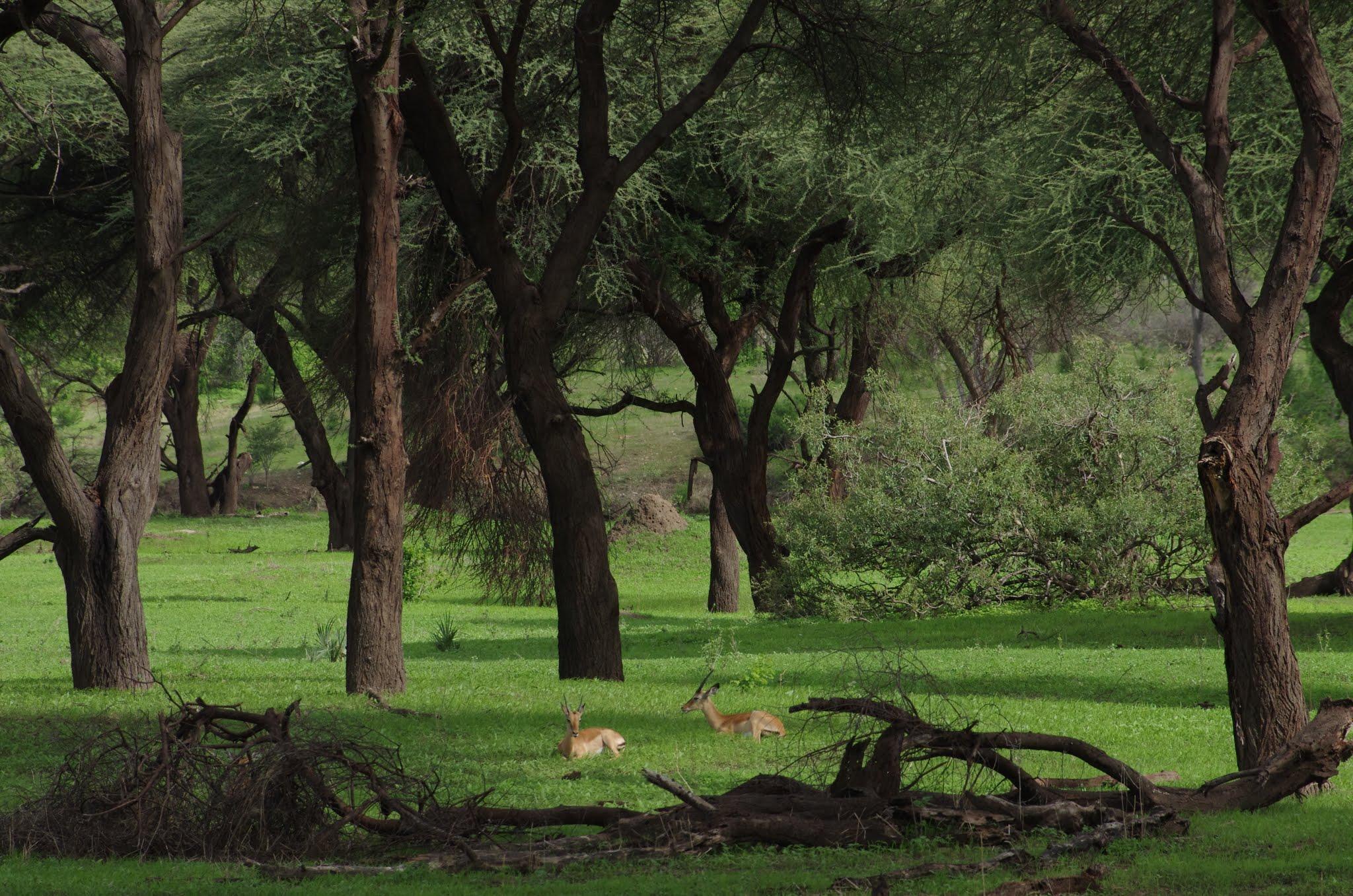 impala8-ruaha-12-11