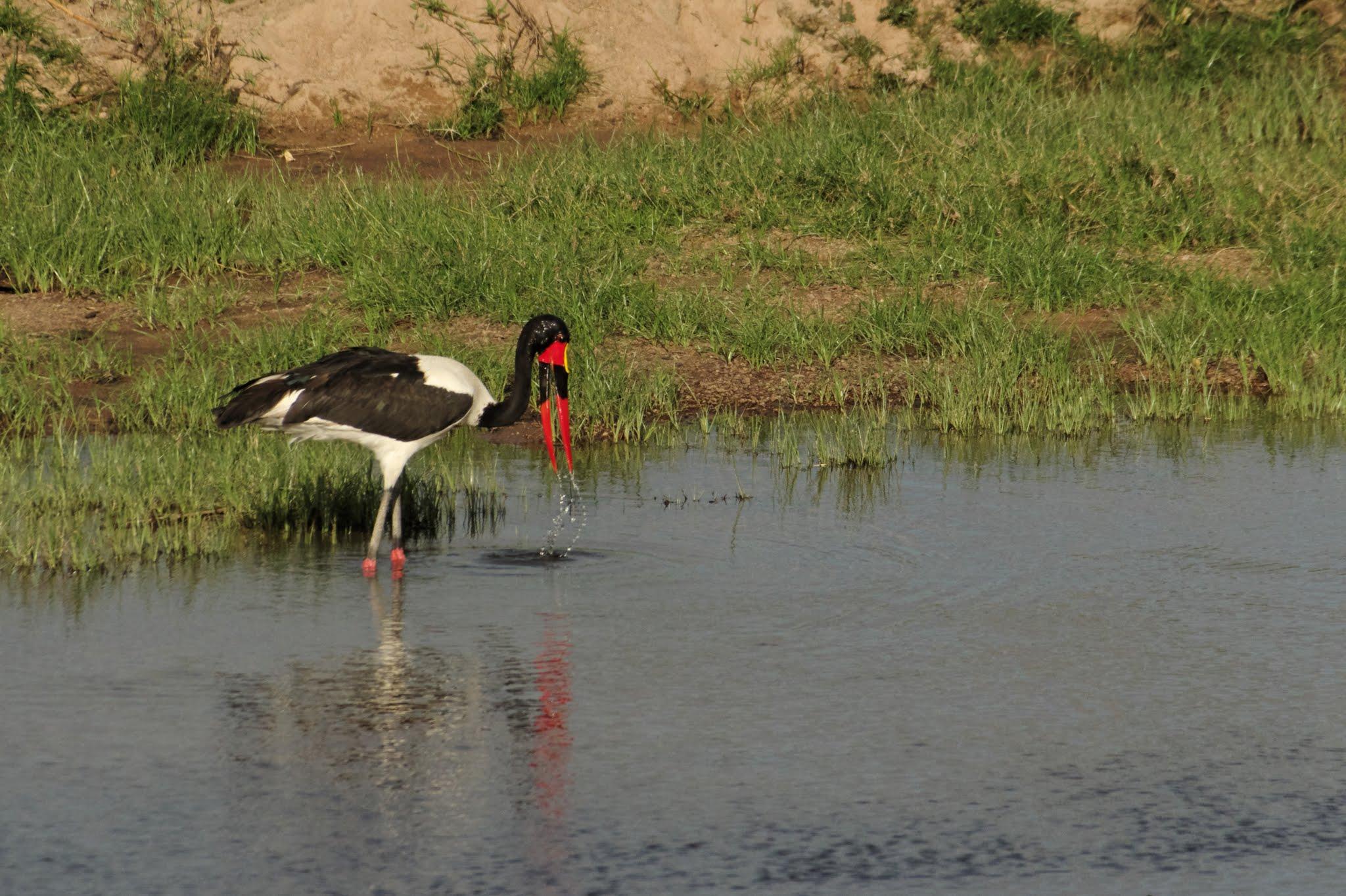 jabiru-dafrique2-ruaha-08-14