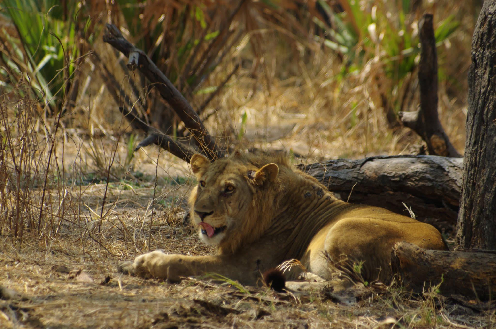 lion-katavi-08-14