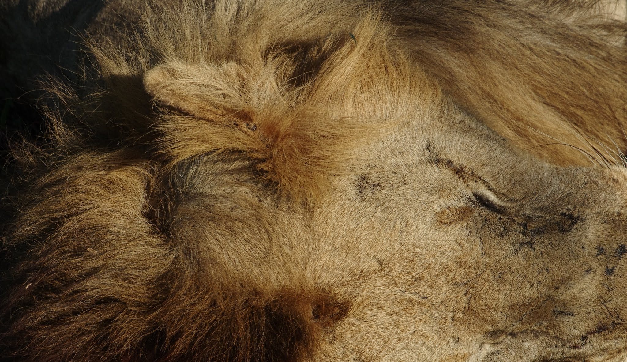 lion12-selous-12-11