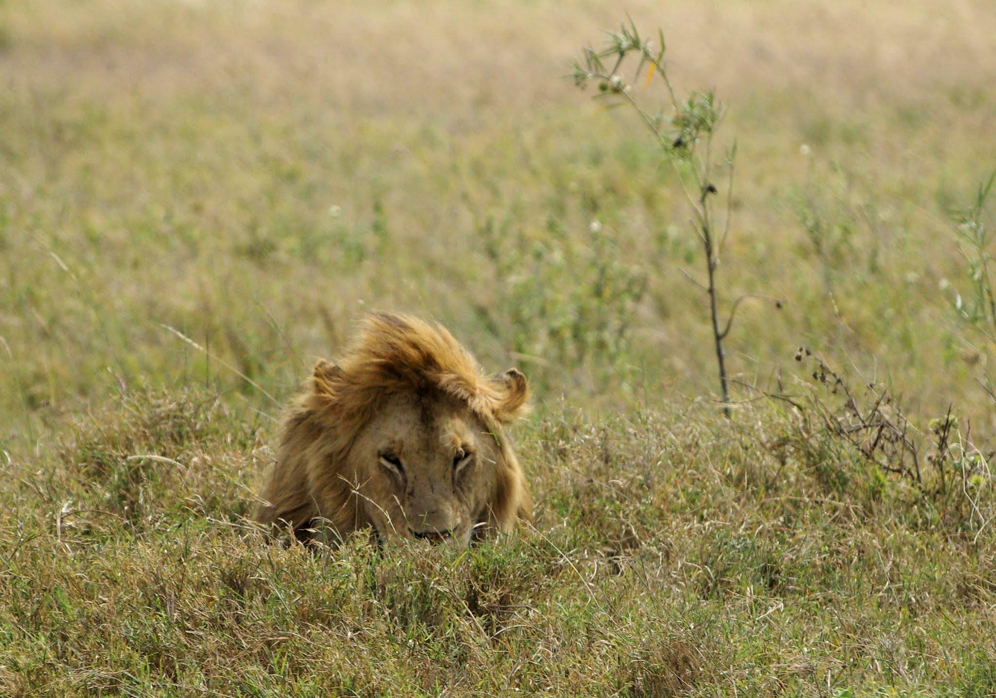 lion2-serengeti-06-08_dxo