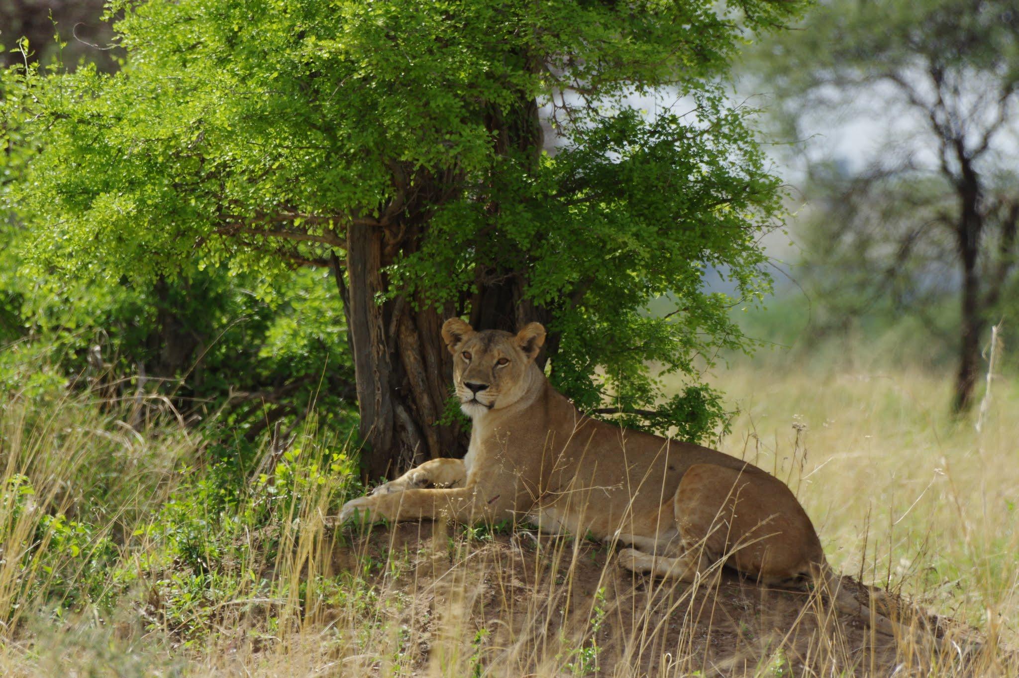 lion3-tarangire-11-15