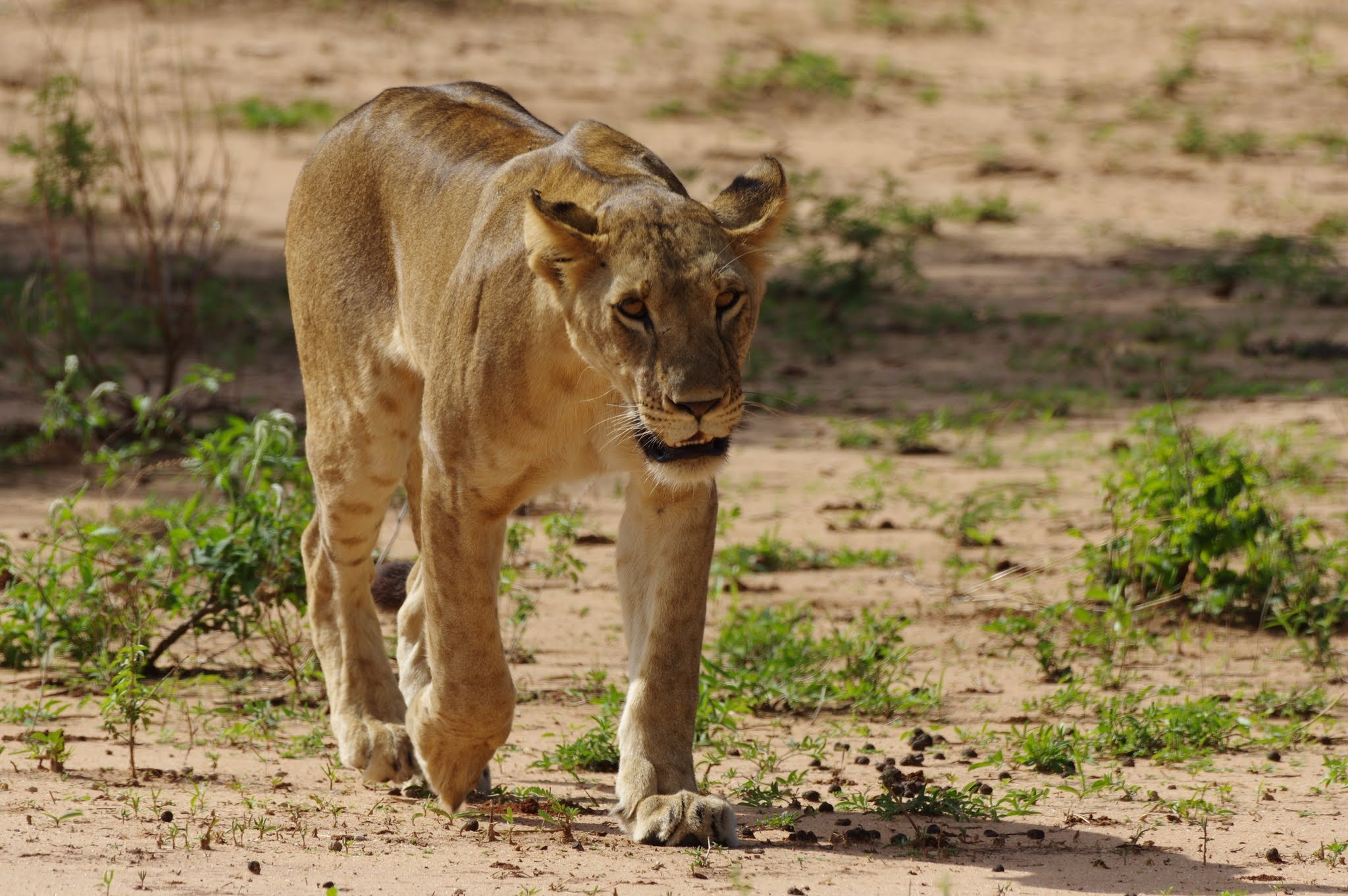 lion4-tarangire-11-15