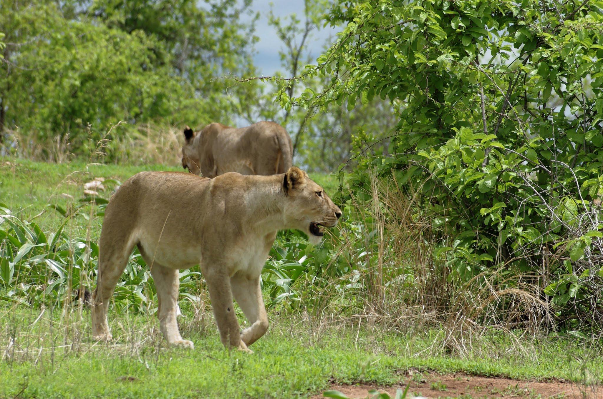 lion5-ruaha-12-11_dxo