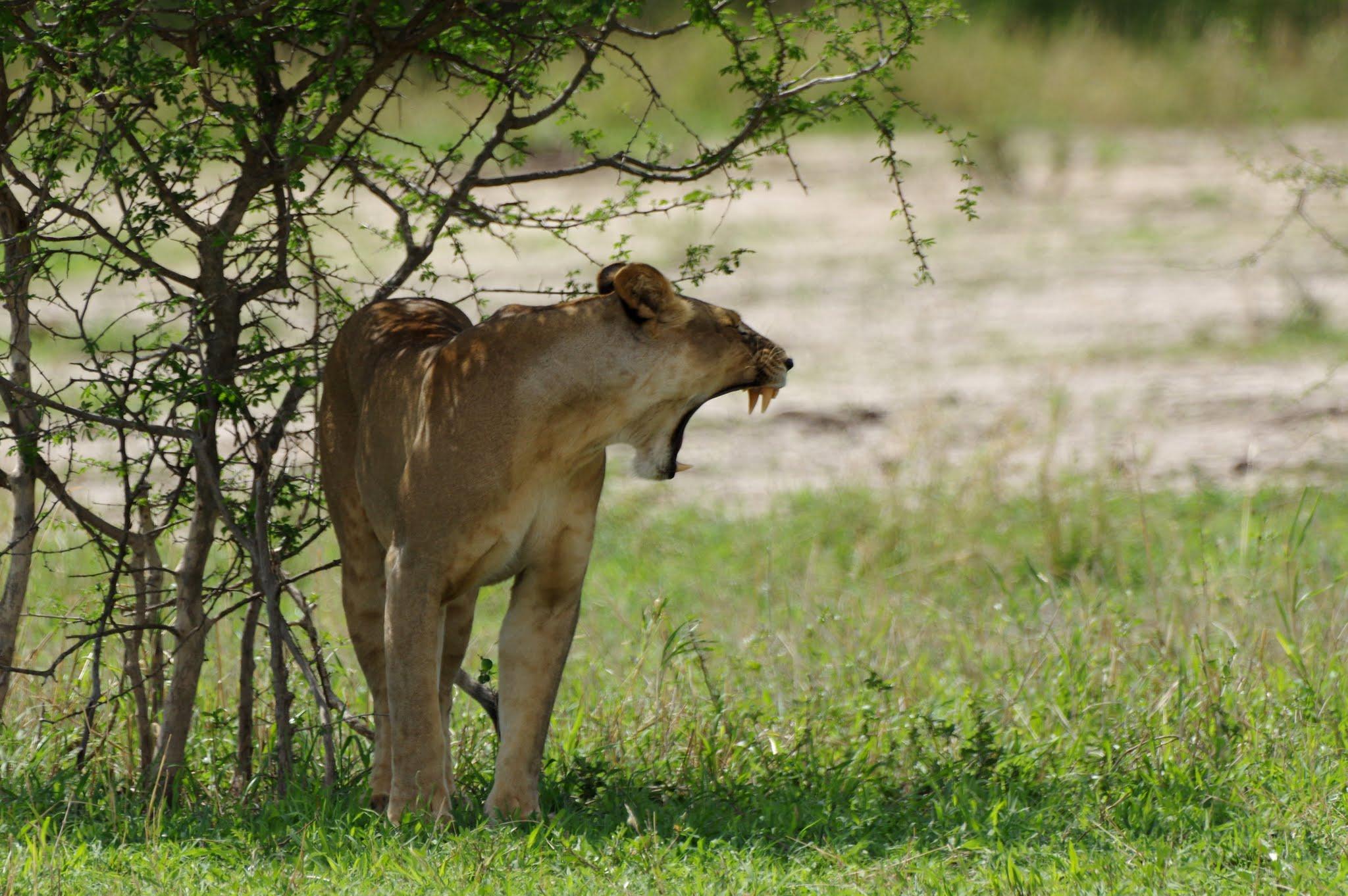 lion6-tarangire-11-15