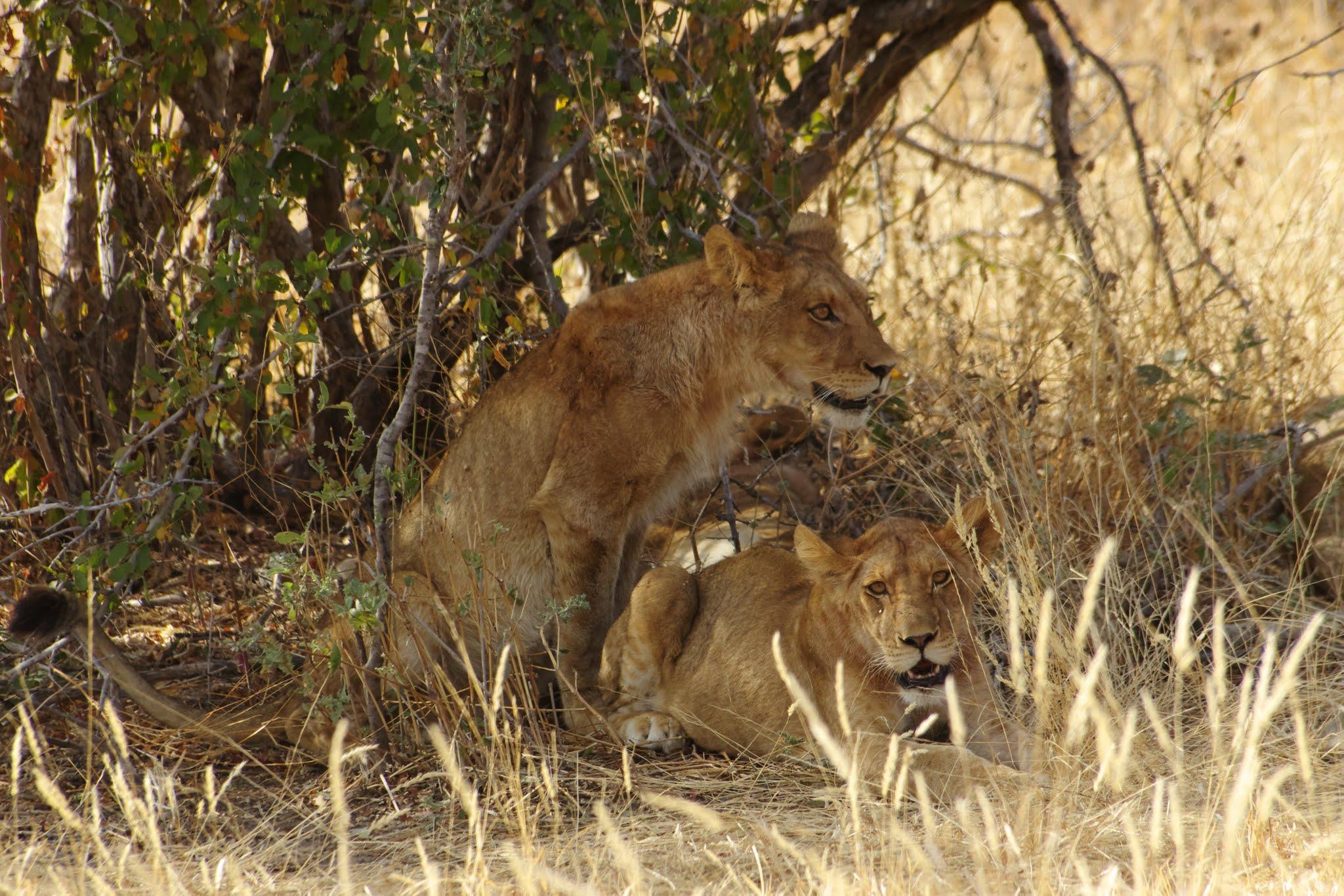 lion7-ruaha-08-14