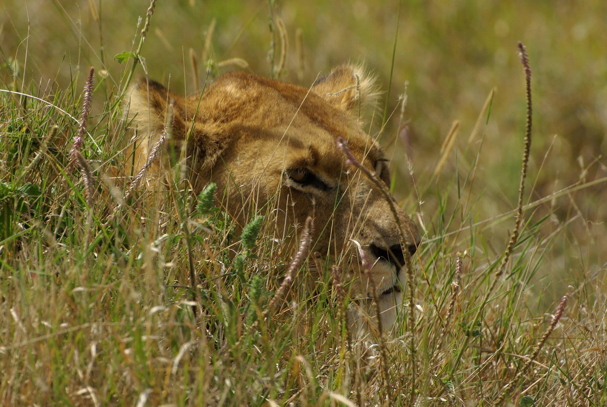 lionne6-serengeti-06-08_dxo
