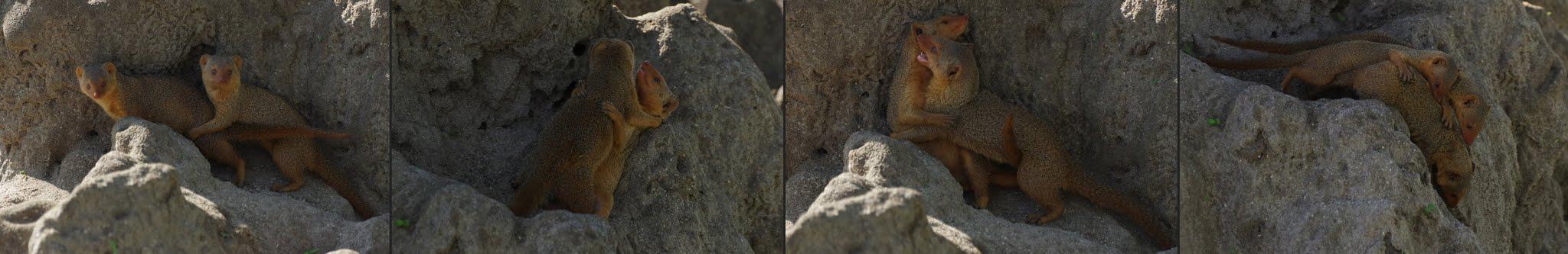 mangouste-naine-x-4-tarangire-11-15