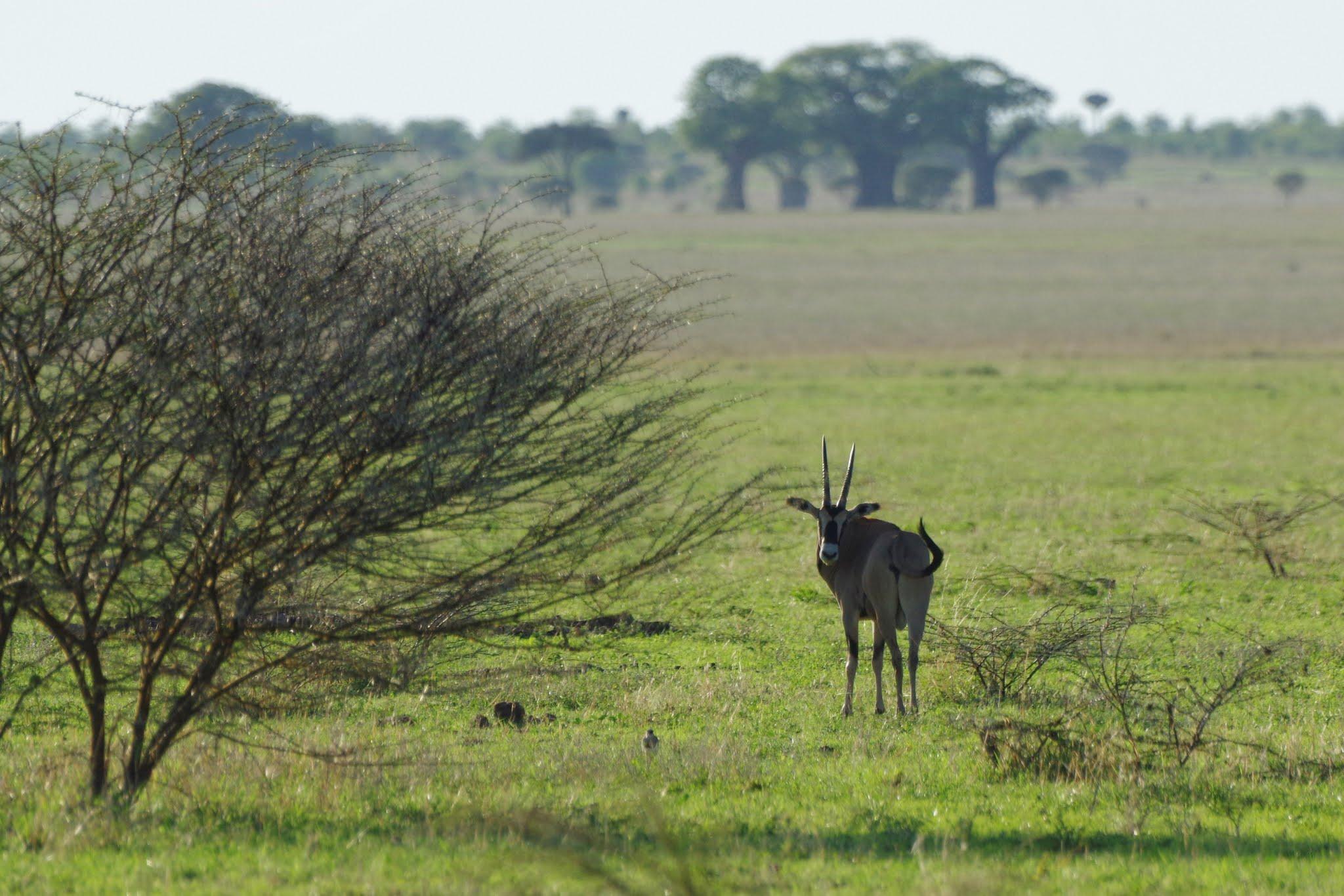 oryx-beisa-tarangire-11-15_dxo