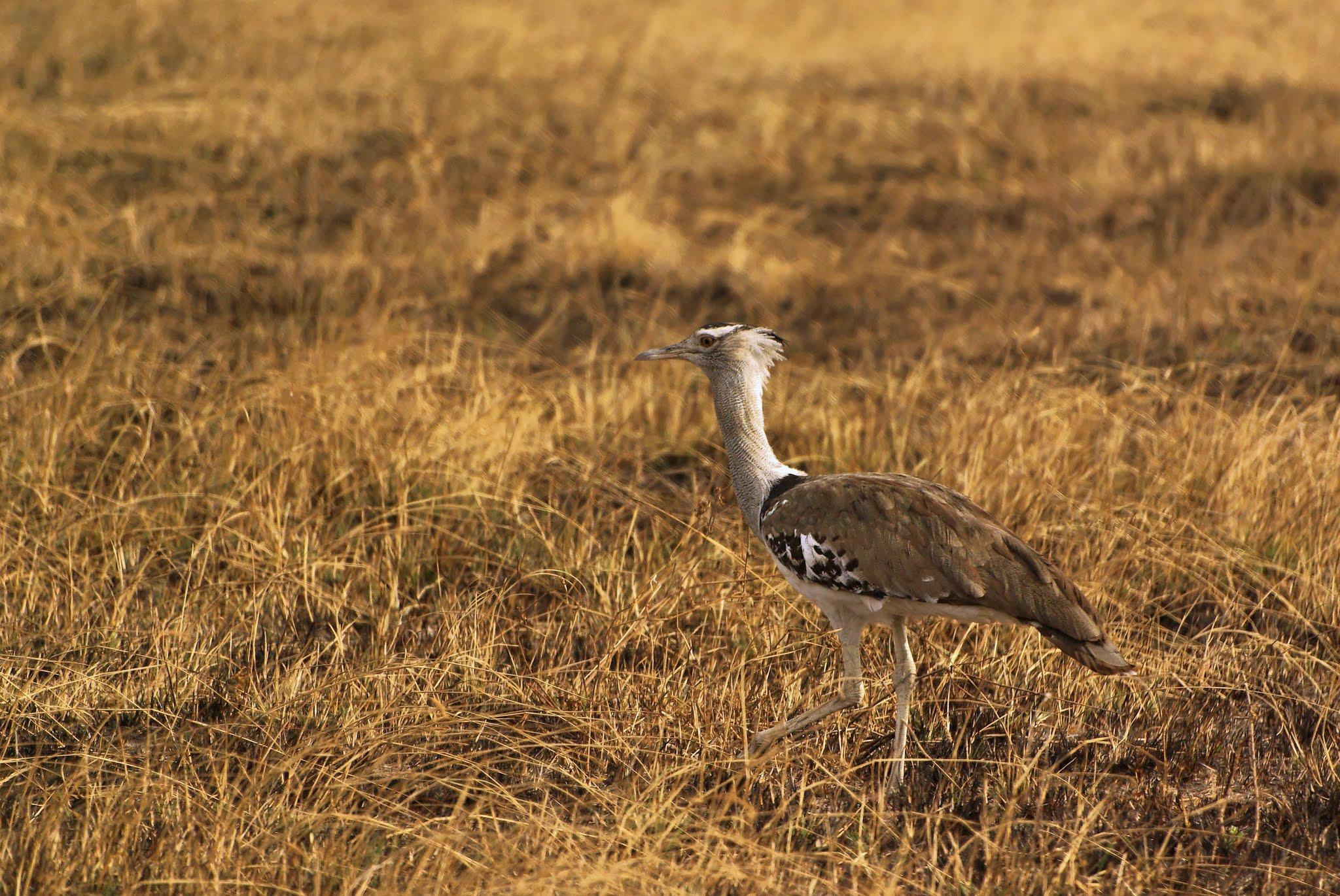 outarde-kori-serengeti-06-08_dxo_dxo