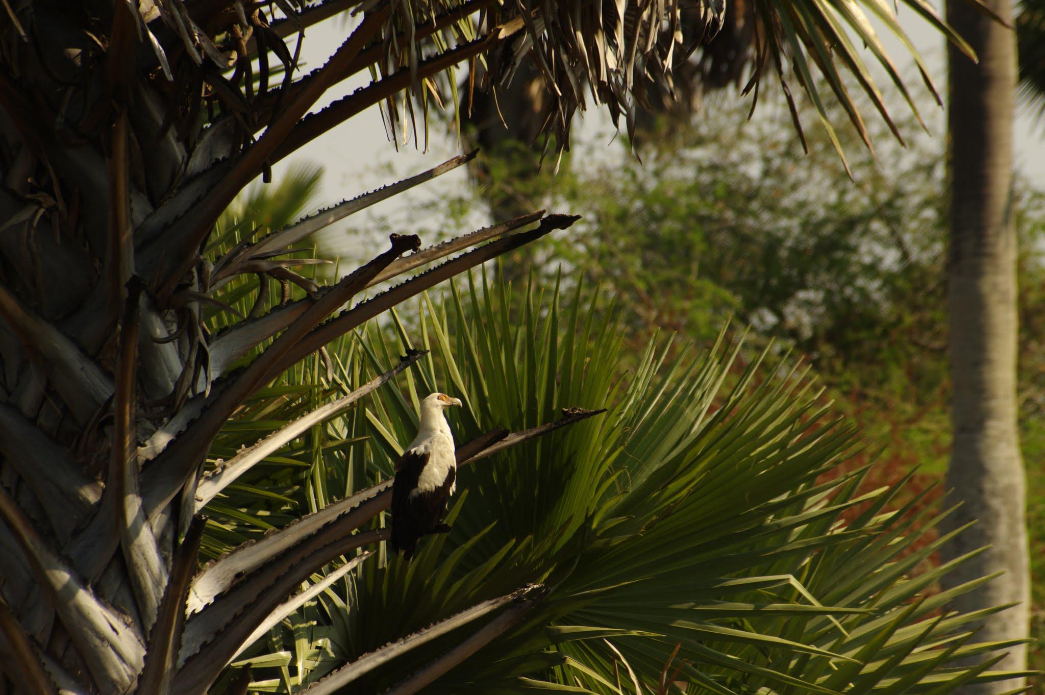 palmiste-africain2-katavi-08-14