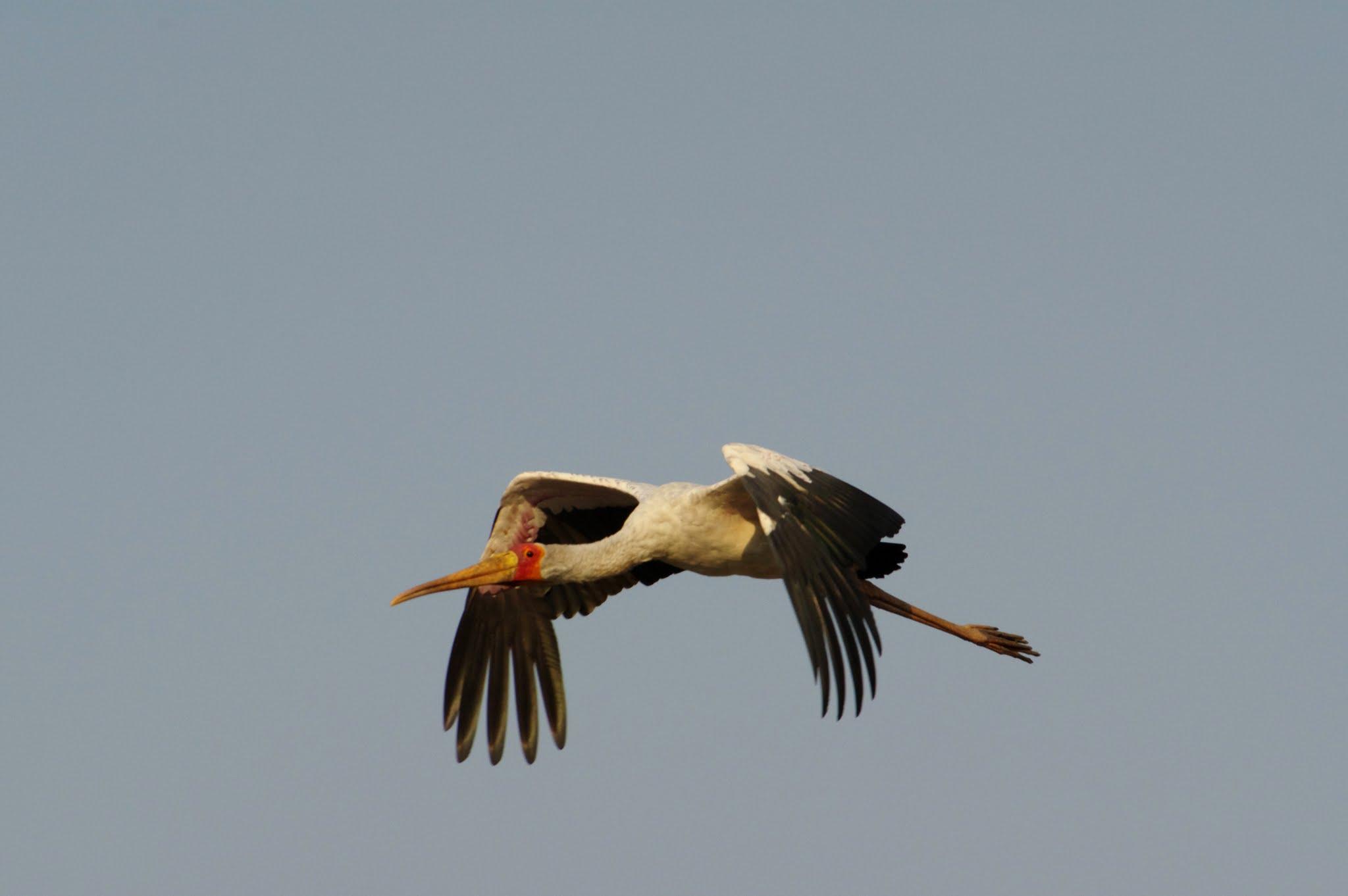 tantale-ibis1-katavi-08-14