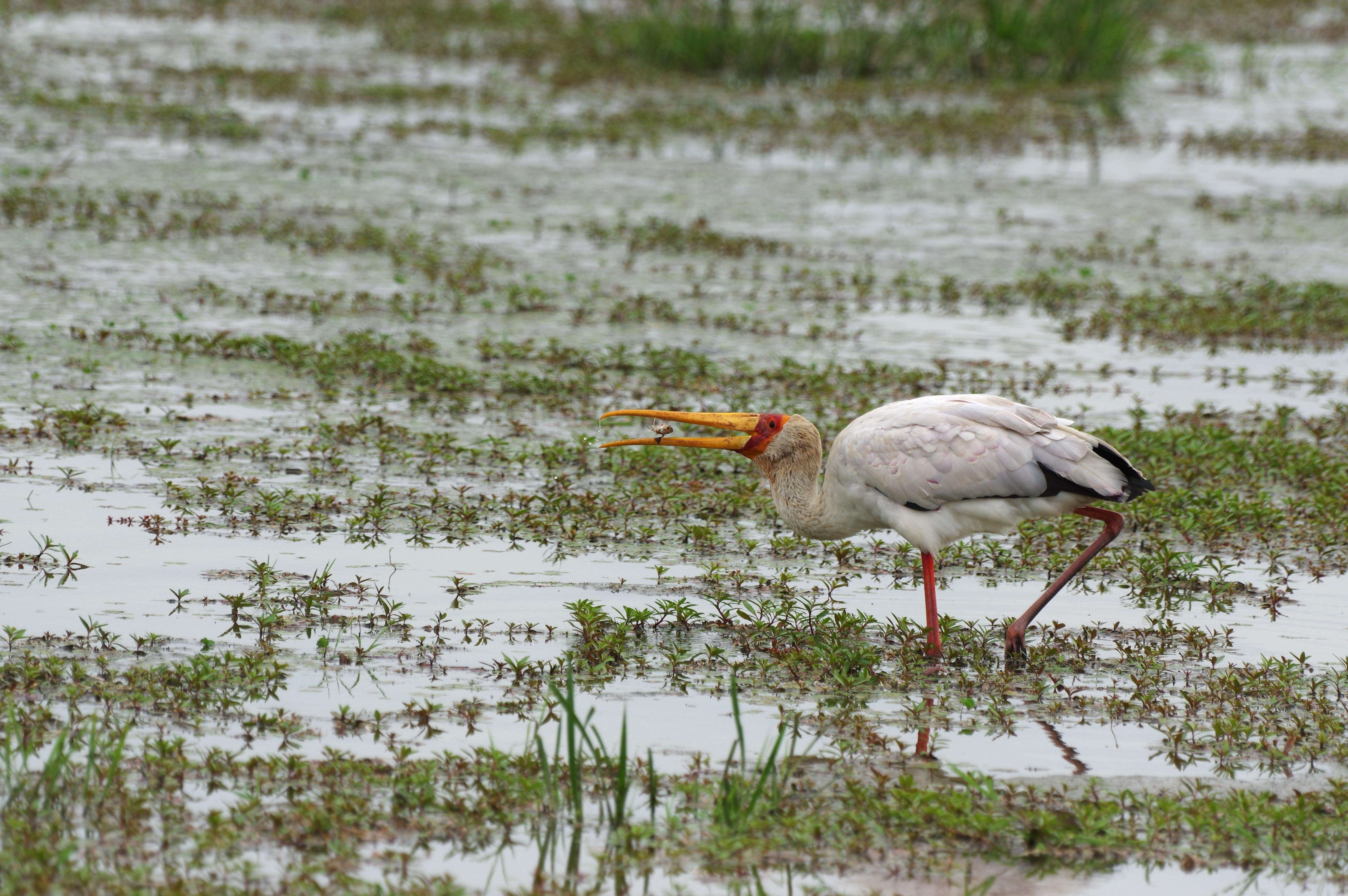 tantale-ibis1-manyara-11-15_dxo