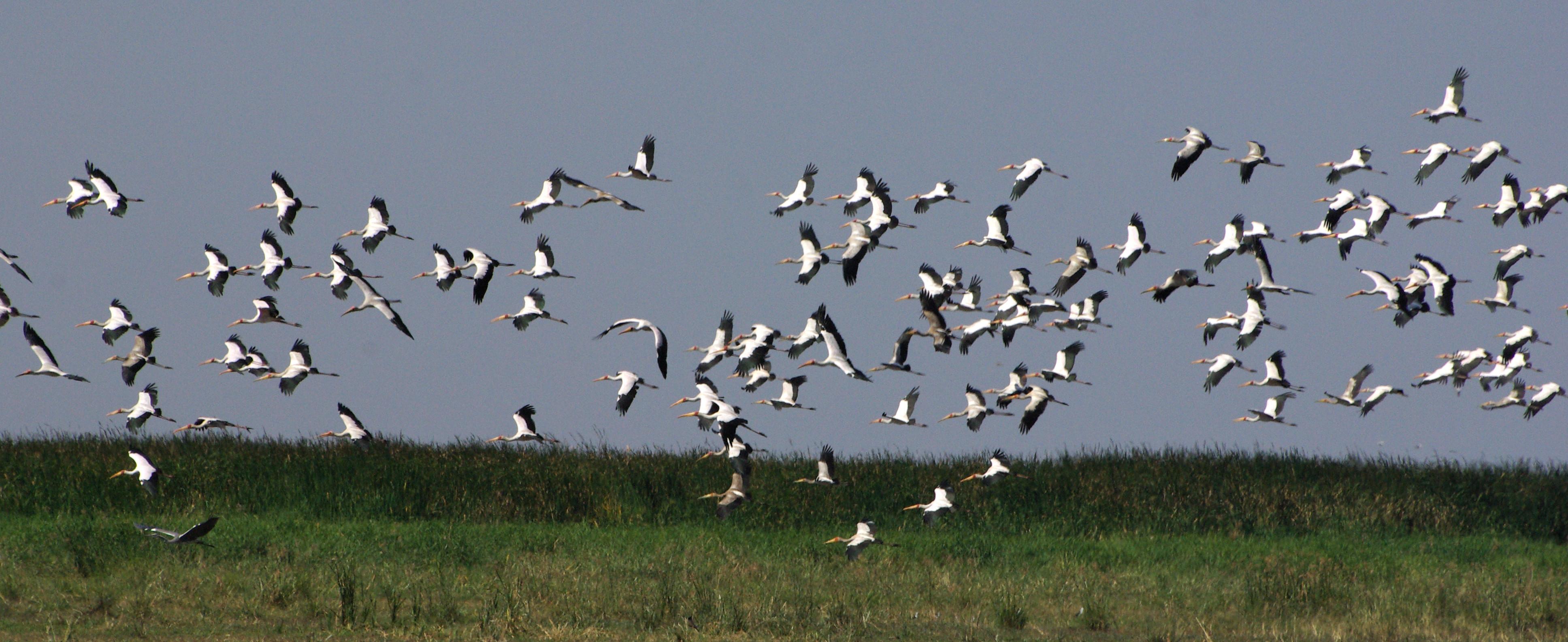 tantale-ibis2-manyara-06-08_dxo