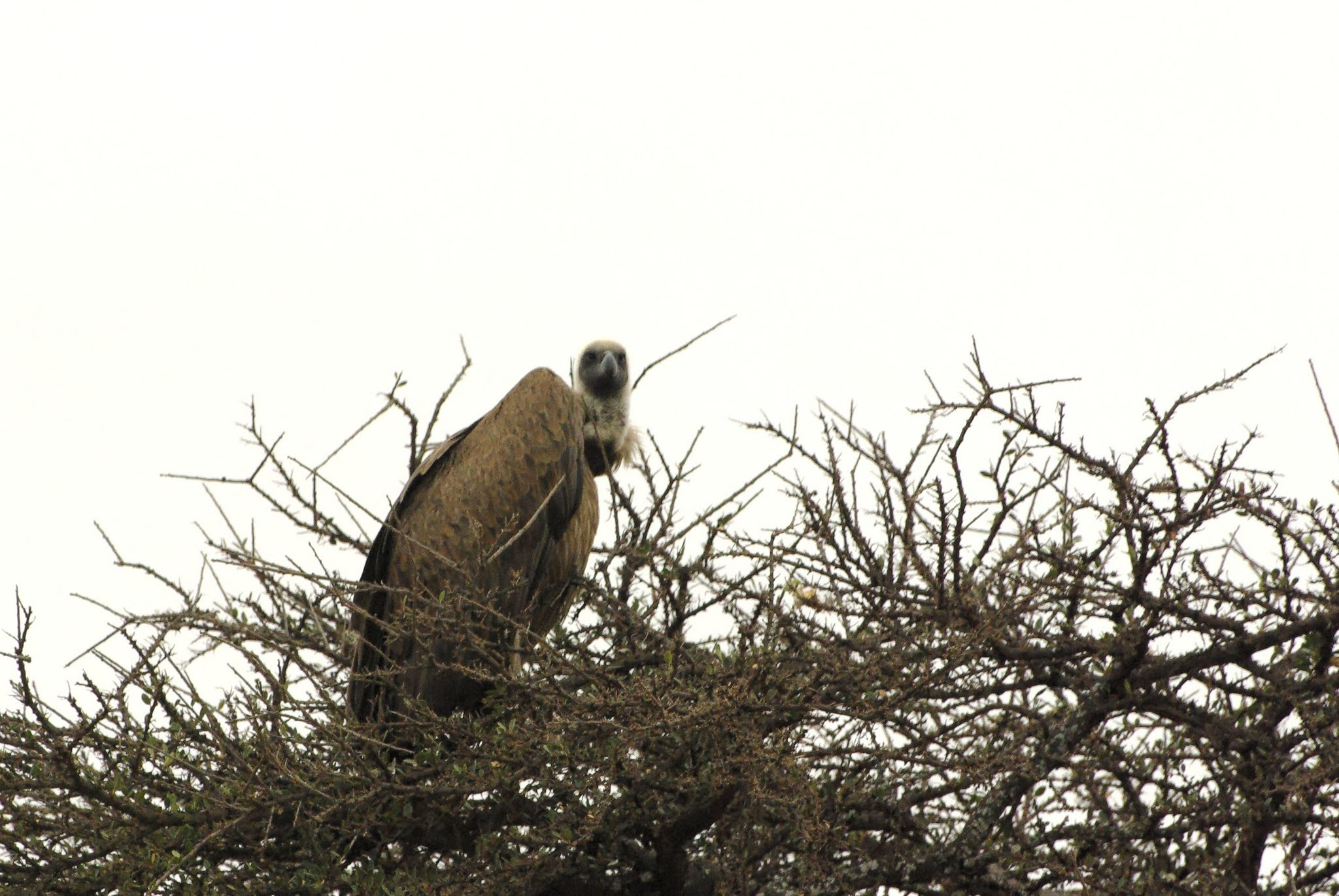 vautour-africain-tarangire-06-08_dxo